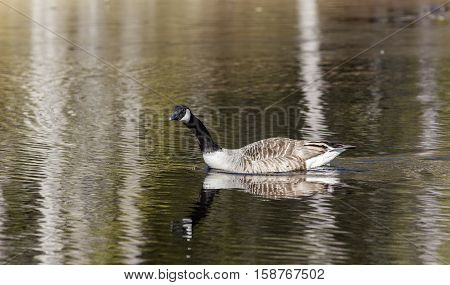 View of a Canada goose in a lake. Migration during spring.