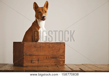 Adorable basenji dog sitting in a brown vintage wooden box licking his nose isolated on white