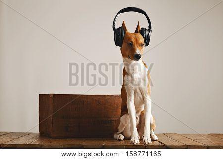 Sleepy basenji dog wearing huge black headset with eyes half closed isolated on white