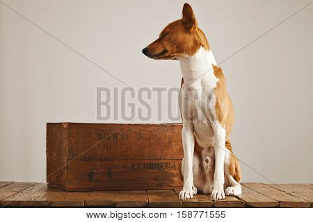Bored sleepy brown and white basenji dog with eyes closed sitting next to a rustic brown wine crate in a studio with white walls