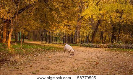 Funny young yellow labrador in beautiful autumn park on sunny day. Autumn portrait of white labrador running on fall leaves. Labrador dog outdoors the autumn.
