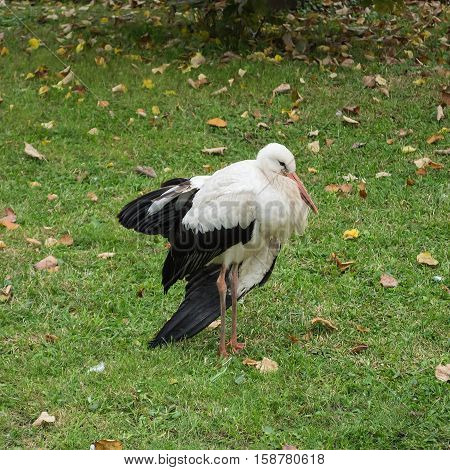 Little stork stands alone on the lawn with green grass and dry leaves in the monastery park in autumn. Cold weather stork cringed and napping. Square image