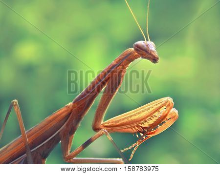 yellow praying mantis in the green garden