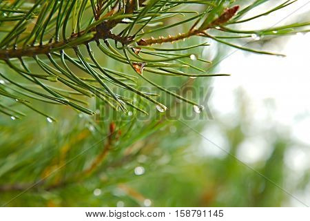 Pine tree branches closeup detail with raindrops
