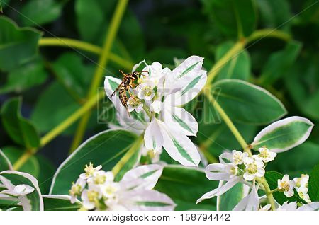 Wasp on a white flower poisonous milkweed