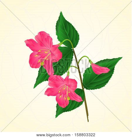 Pink flower decorative shrub Weigela cracks vintage vector illustration