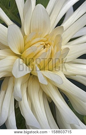 Close up image of dahlia flower (Dahlia x cultorum)