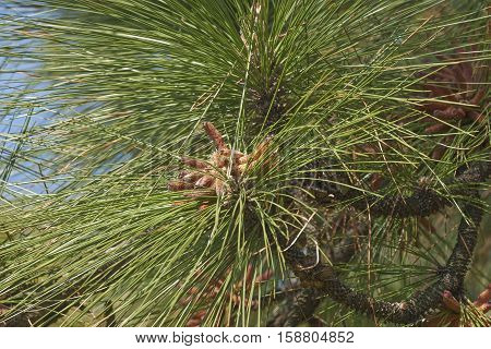 Longleaf pine pollen cones (Pinus palustris). Called Southern Yellow Pine also