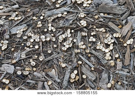 White-egg bird's nest fungus (Crucibulum laeve). Called Common bird's-nest fungus and Splash cups also