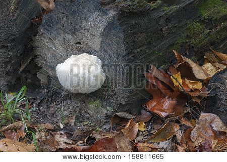 Lion's mane mushroom (Hericium erinaceus). Called Bearded tooth mushroom Satyr's beard Bearded hedgehog mushroom pom pom mushroom and Bearded tooth fungus also poster