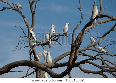 Cockatoos on a bare tree, sulphur-crested Cockatoo
