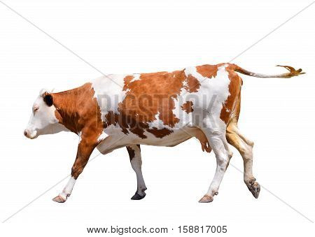 Funny cute cow isolated on white. Jumping red cow. Funny spotted cow. Farm animals. Cow, standing full-length in front of white background. Pet red young cow on white.