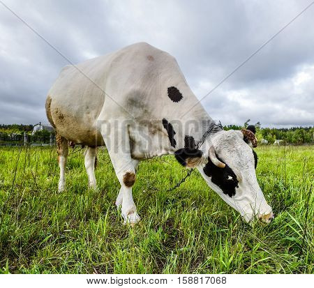 The portrait of cow on the background of field. Beautiful funny cow on cow farm. Young black and white calf eating bright green grass Cow close up