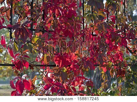 Brightly red decorative lianas in the fall as background