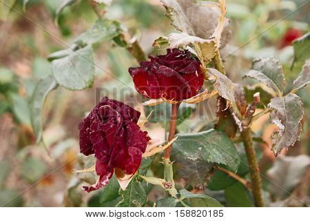 Two Red tea rose flowers in autumn garden.