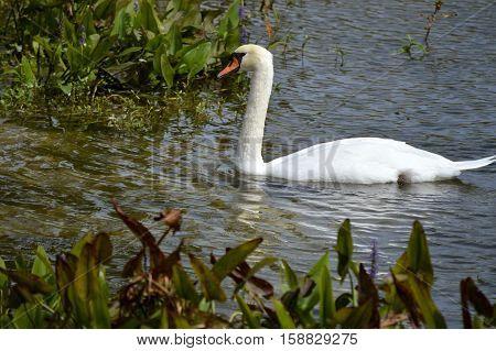 A Mute Swan Latin name Cygnus olor