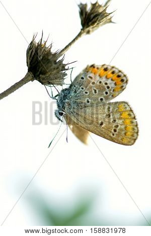 butterfly in natural habitat sitting on flower (plebejus argus)