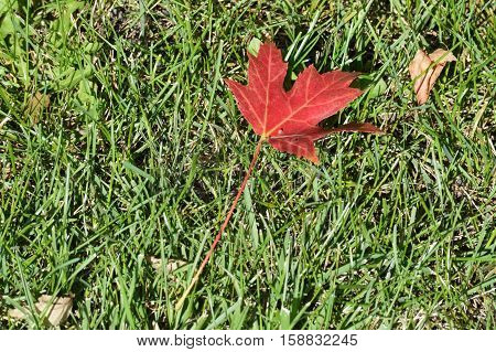 A red maple leaf on the green grass