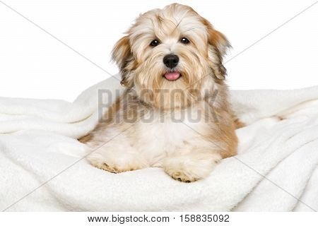 Happy reddish Bichon Havanese puppy dog is lying on a white bedspread. Isolated on a white background