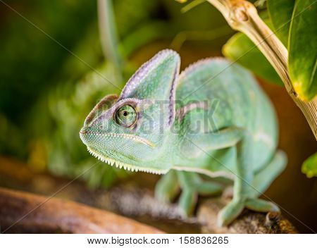 Veiled chameleon (Chamaeleo calyptratus) resting on a branch in its habitat, macro photo.