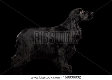 Purebred Dog english cocker spaniel breed, standing on isolated black background with reflection, side view, shine fur