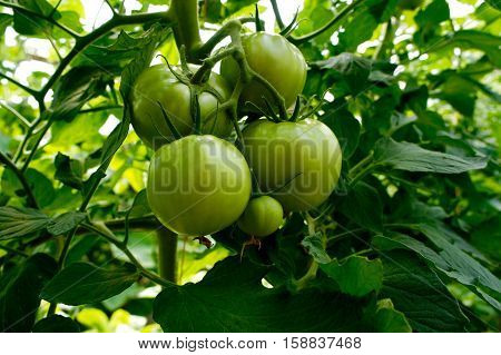 Four Green Tomatoes Ripening on the Vine