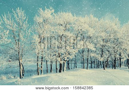 Winter forest landscape with snowy winter trees and snowfall. Winter evening of snowy winter grove.