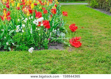 Tulips, anemone and bluebells flowers with green lane, Keukenhof, Netherlands