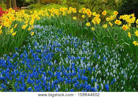 fresh yellow spring growing blooming daffodils and bluebells flowers