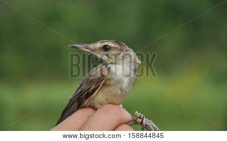 great reed warbler (Acrocephalus arundinaceus) bird-ringing camp