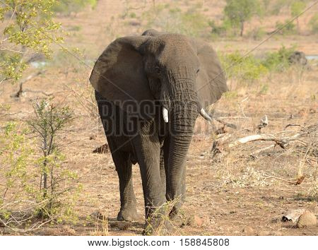 Elephant looking for food during a drought in Kruger National Park located in South Africa.