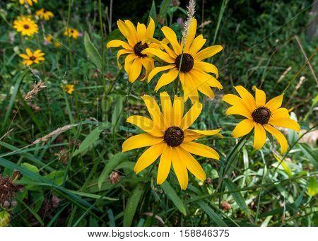 Black Eyed Susan Flowers Along Trail in summer