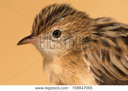 Profile of a little brown wild bird