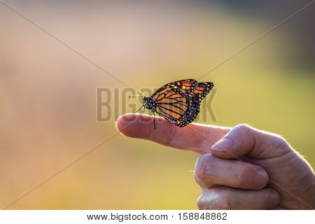 A Viceroy Butterfly (Limenitis archippus) looks like the Monarch and is perched on an extended finger