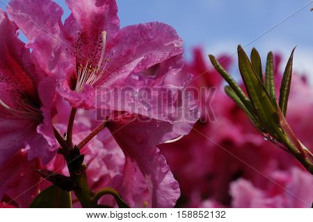 Bright pink flowers against a deep blue sky