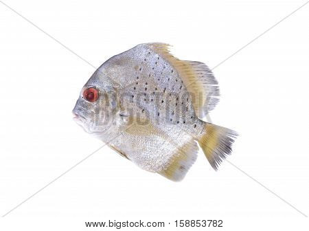 raw spotted sicklefish on a white background