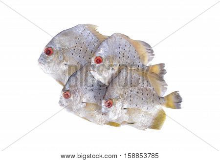 group of raw spotted sicklefish on white background
