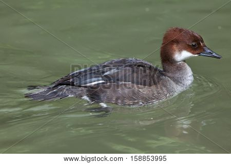 Smew (Mergellus albellus). Juvenile female duck.  Wildlife animal.