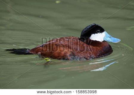 Ruddy duck (Oxyura jamaicensis). Wildlife animal.