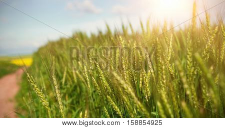 Close up of beautiful wheat field during sunny day