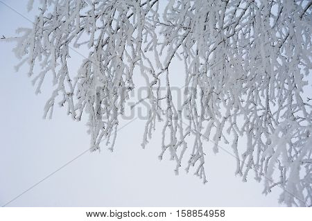 Frozen branches of a tree