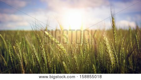 Green wheat farm against cloudy sky