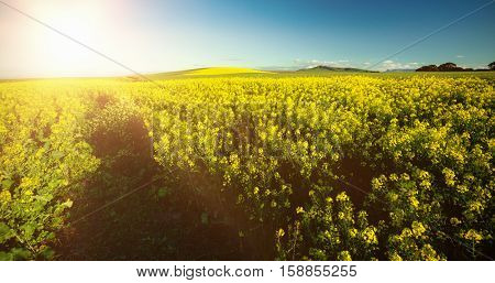 Yellow mustard field against sky