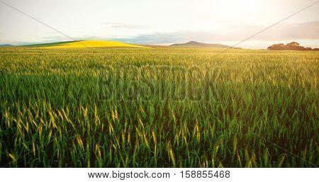 Green wheat field against sky