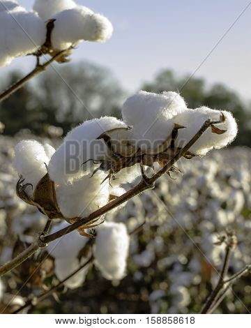 Close up of cotton bolls in a field with blue sky in background