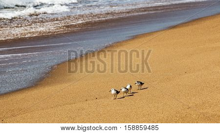 Four Young Sea Gulls On Beach At Waters Edge
