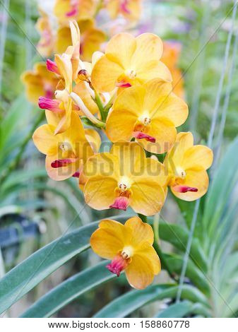 Closeup of Beautiful yellow orchid in garden