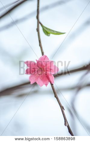 Flowers in spring. Plum blossoming in spring, it is the only remaining last winter flower, is the earliest blooming flower in spring. It shows struggle and pride. Minimalistic background picture.