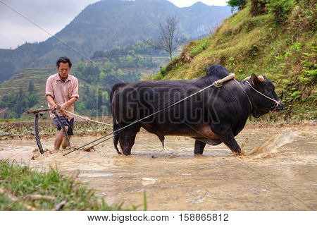 Zhaoxing Dong Village Guizhou Province China - April 9 2010: Chinese farmer works in a field ox pulling a plow.