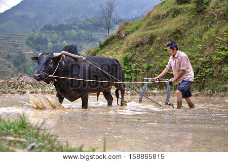 Zhaoxing Dong Village Guizhou Province China - April 9 2010: Chinese farmer cultivates rice field his bull pulling a plow.